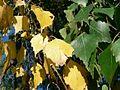 Yellow green birch leaves.jpg