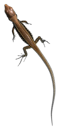 Young Common Wall Lizard (Podarcis muralis).png