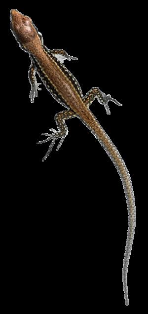 Podarcis muralis - Image: Young Common Wall Lizard (Podarcis muralis)