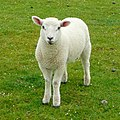 Young inhabitant of Northam Burrows - geograph.org.uk - 1302872.jpg