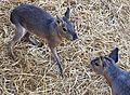 Young kangaroos at Cedar Point (5342).jpg