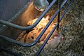 Young swine under heating lamp.jpg