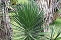 Yucca aloifolia 0zz.jpg