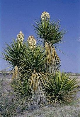 Yucca torreyi, blühendes Exemplar in Texas