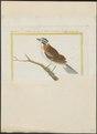 Zonotrichia pileata - 1700-1880 - Print - Iconographia Zoologica - Special Collections University of Amsterdam - UBA01 IZ16000291.tif