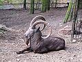 Zoo Olomouc, kozorožec sibiřský.jpg