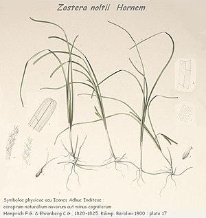 Zostera noltei - Image: Zostera noltii