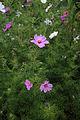 'Cosmos bipinnatus' Clavering Essex England 1.jpg