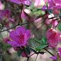 'Formosa', Formosa azalea (9057309365).jpg