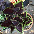 'Giant Exhibition Magma' coleus IMG 0884.jpg