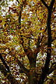 'Quercus robur' - Beale Arboretum - West Lodge Park - Hadley Wood Enfield London 2.jpg