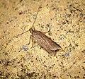 (0855) Acompsia cinerella (35169229231).jpg