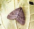 (1799) Winter Moth (Operophtera brumata) (8184732244).jpg