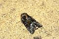 (2337) Marbled Minor (Oligia sp.) (3640138472).jpg
