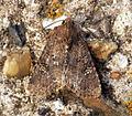 (2343) Common Rustic (Mesapamea secalis) (5970109601).jpg