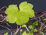 (MHNT) Cymbalaria muralis - Leaf.jpg