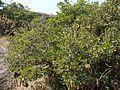¿ Atalantia racemosa ? (6841504117).jpg