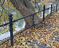 Überwallung (Baum in Breslau).jpg