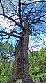 Багатовікові дуби міського саду 2.jpg
