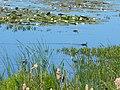 Барський орнітологічний заказник, молоді лисухи серед лілей.jpg
