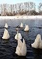 Белые лебеди.jpg