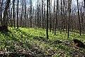 Дубово-грабовий ліс з цибулею ведмежою.jpg