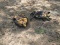 Европейская болотная черепаха.1.jpg
