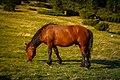 Коні на полонині Рущина. карпати.jpg