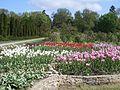 Олександрія, тюльпани.jpg