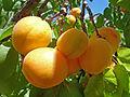 Плоды абрикоса.jpg