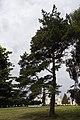 Рыльский район Марьино Парк Сосна крымская 200 лет 1.jpg