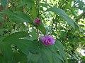 Сиријска ружа, Ботаничка башта Јевремовац, 01.JPG