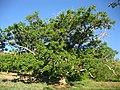 درختان کهنسال گردو در روستای جهان عکس از احمد نیک گفتار 1391.jpg