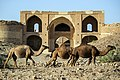 چرای گله شتر - حوالی کاروانسرای دیر گچین قم - پارک ملی کویر 27.jpg