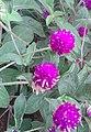 வாடா மல்லி 1 (Gomphrena globosa கொணலை ).jpg