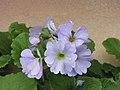 四季報春 Primula obconica Touch Me Series -香港花展 Hong Kong Flower Show- (9200909602).jpg