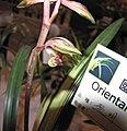 報歲黎明 Cymbidium sinense 'Dawn' -香港沙田洋蘭展 Shatin Orchid Show, Hong Kong- (12284433973).jpg
