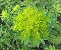 大戟屬 Euphorbia glareosa -維也納大學植物園 Vienna University Botanical Garden- (28425286524).jpg