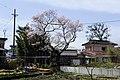 小井川の桜 - panoramio.jpg