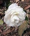 山茶花-重瓣玫瑰型 Camellia japonica Double - Rose Form -昆明植物園 Kunming Botanic Gardens, China- (9227099373).jpg