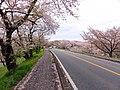 岐阜県羽島郡笠松町(桜並木) - panoramio.jpg