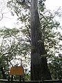 扁柏巨木 Giant Cypress Tree - panoramio.jpg