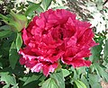 日本牡丹-紅輝獅子 Paeonia suffruticosa Koukijishi -日本大阪長居植物園 Osaka Nagai Botanical Garden, Japan- (40597954690).jpg