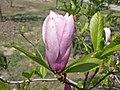 木蘭屬 Magnolia 'Jane' -上海辰山植物園 Shanghai Chenshan Botanical Garden- (17056018497).jpg