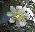 木麒麟 Pereskia aculeata -台中植物園 Taichung Botanical Garden, Taiwan- (15097304824).jpg