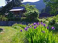 橋本院のかきつばた 御所市高天にて Rabbitear iris in Hashimoto-in 2013.5.24 - panoramio.jpg