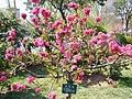 盛开的桃花 - panoramio.jpg