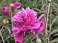 芍藥-台閣型 Paeonia lactiflora Chamber-series -瀋陽植物園 Shenyang Botanical Garden, China- (9200946180).jpg