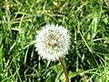 -2018-09-13 Dandelion seed head (Taraxacum), Trimingham.JPG