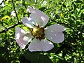 -2019-06-06 Dog rose (Rosa canina), Knapton, Norfolk (2).JPG